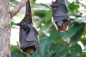 bats in coronavirus